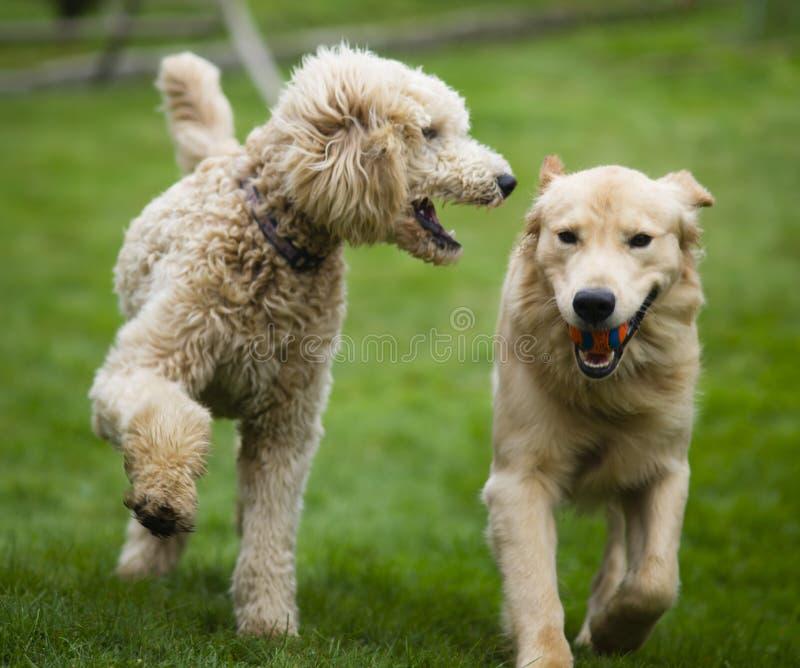 Lycklig guld- Retreiver hund med pudeln som spelar Fetchhundkapplöpninghusdjur arkivbild