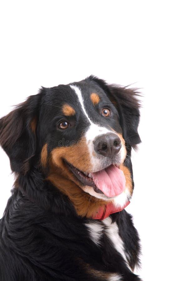 Download Lycklig hund arkivfoto. Bild av anhydrous, uppmärksamheter - 3543568
