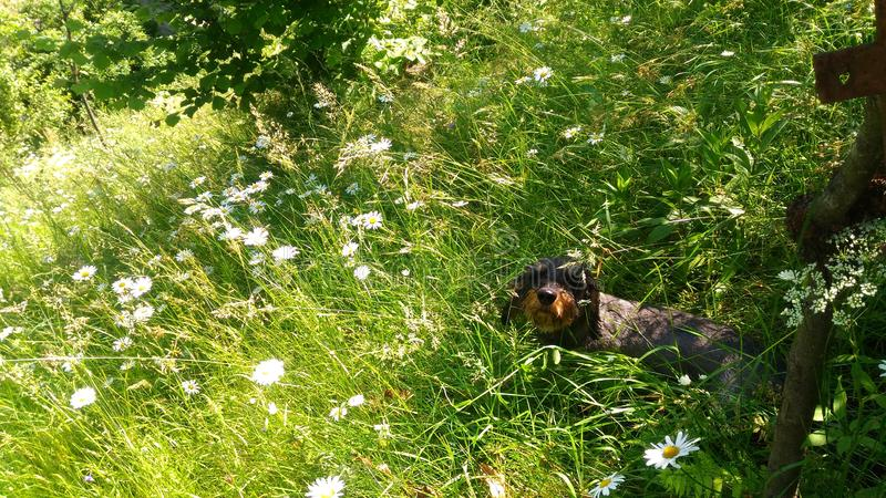 Lycklig hund i blommaf?lt royaltyfria bilder