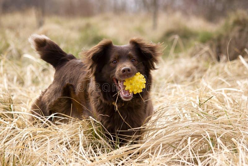 Lycklig hund med bollen arkivbilder