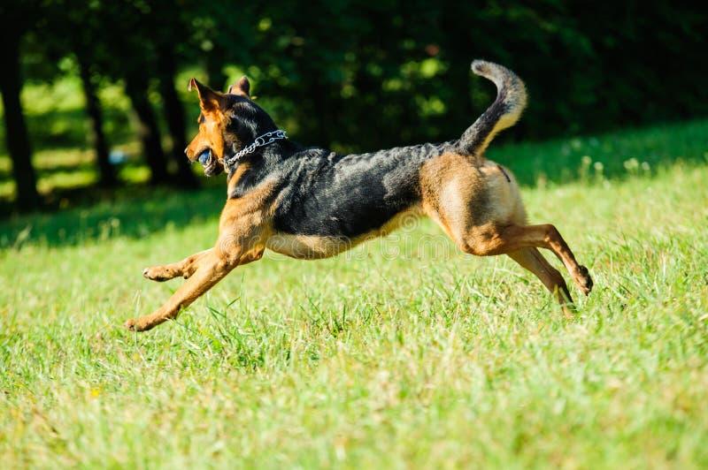 Lycklig hund som kör joyfully på ett grönt gräs arkivfoto
