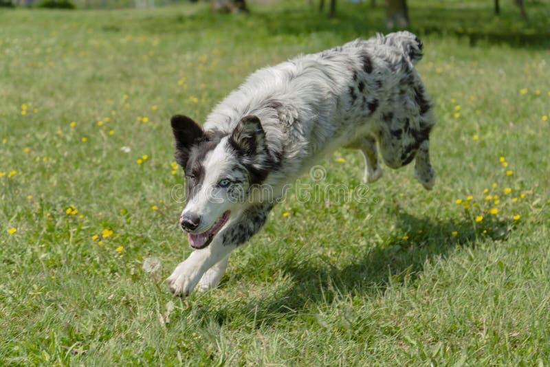 Lycklig hund som kör och spelar i fält för grönt gräs arkivfoto