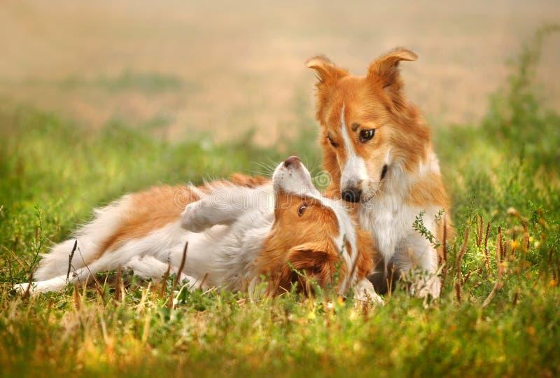 Lycklig hund som två lägger på gräset arkivfoto