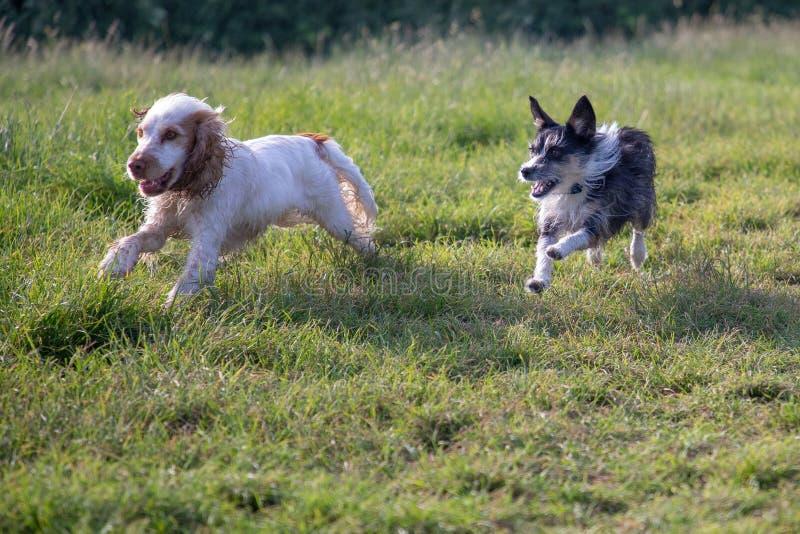 Lycklig hundkapplöpning som tillsammans kör i ett fält fotografering för bildbyråer