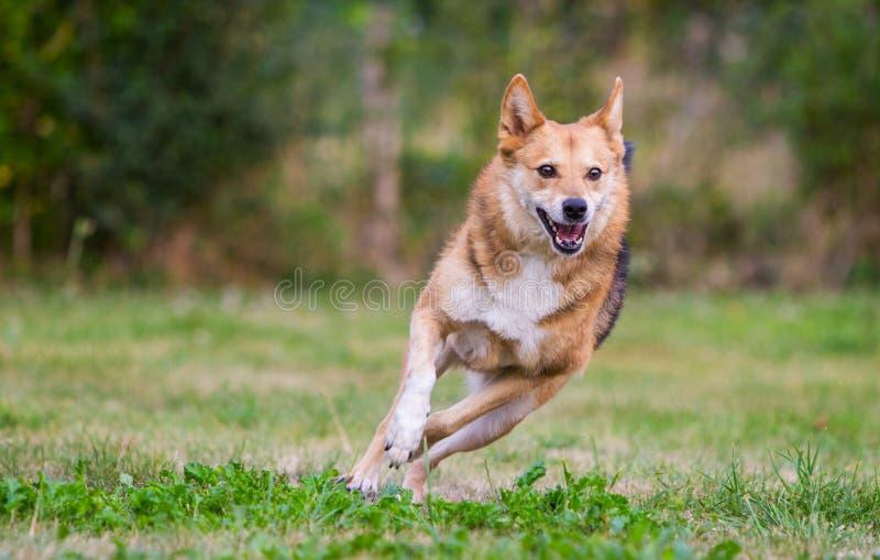 Lycklig hundspring på full hastighet royaltyfri bild