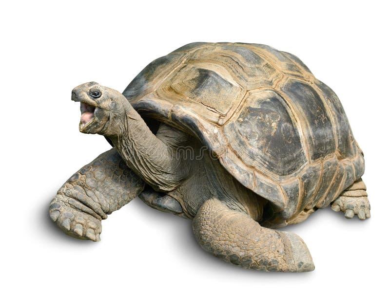 Lycklig jätte- sköldpadda på white arkivbild