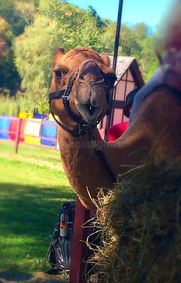 lycklig kamel royaltyfri bild