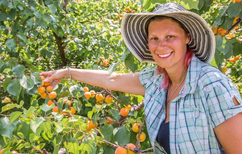 Lycklig kvinnaskörd av nya frukter av aprikons på träd arkivfoto