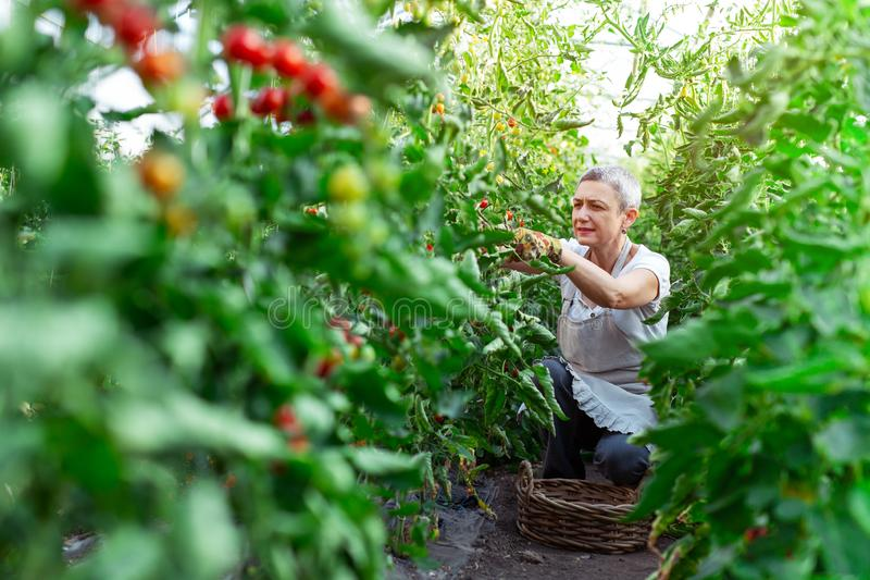 Lycklig kvinnlig bonde som arbetar i växthus arkivfoto