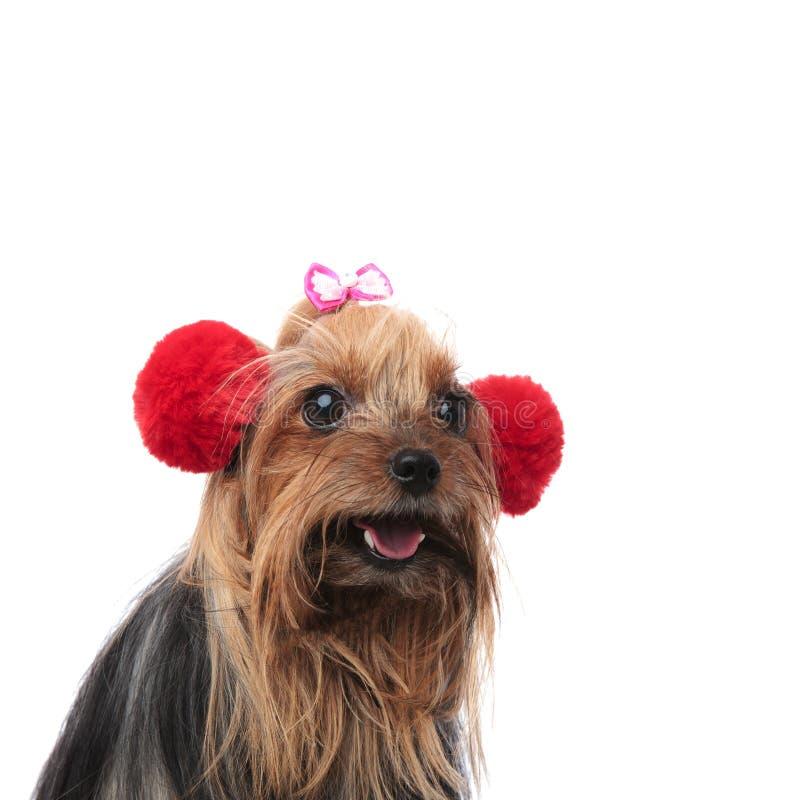 Lycklig kvinnlig för yorkshire terrier som bär röd pälsöronskydd arkivbild