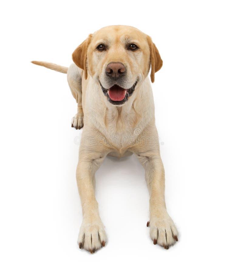 lycklig labrador för hundframsida retriever arkivfoto