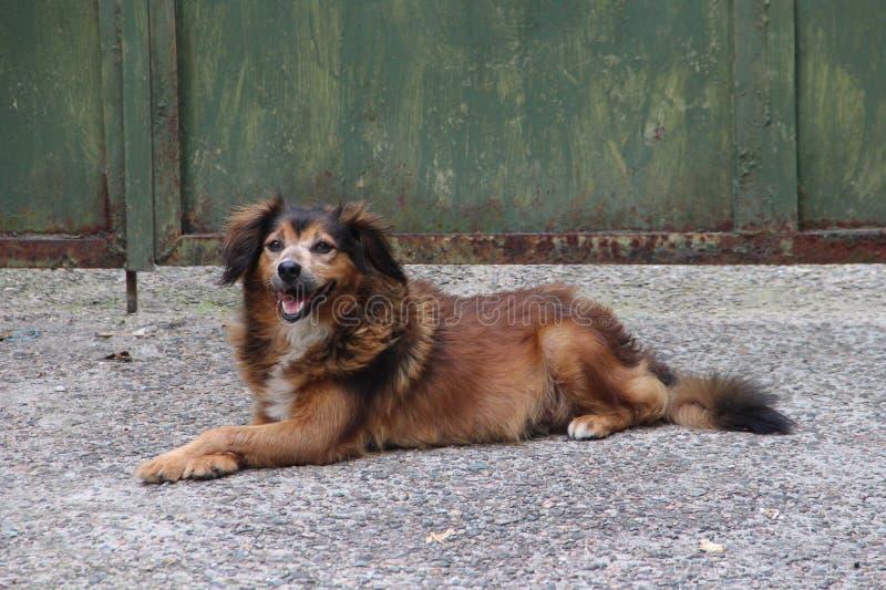 Lycklig le röd hund arkivbild