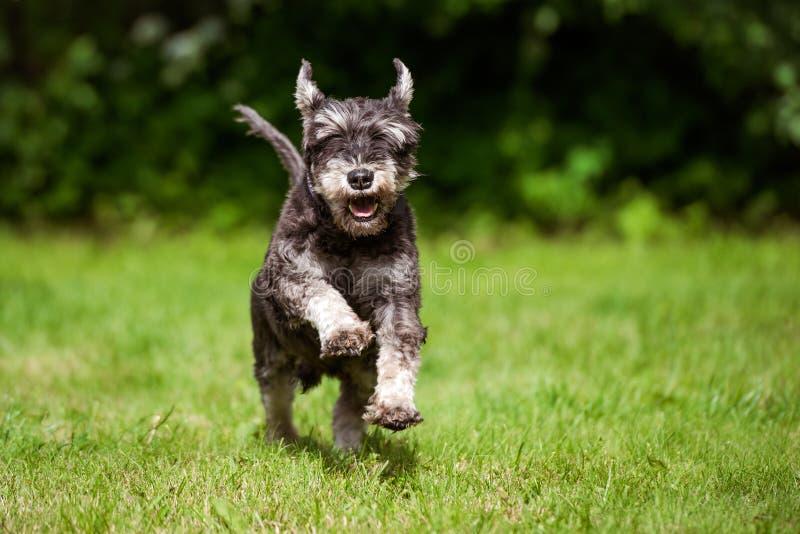 Lycklig miniatyrschnauzerhundspring på gräs royaltyfri foto