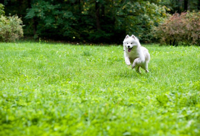 Lycklig Samoyedhundspring på gräset öppen mun royaltyfria foton