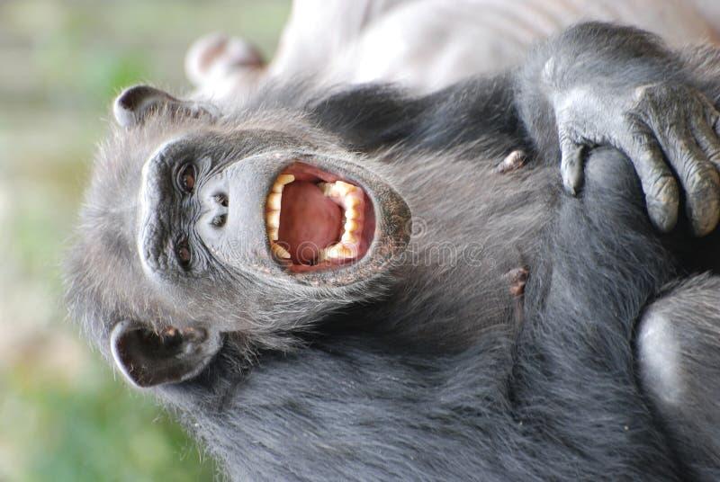 lycklig schimpans fotografering för bildbyråer