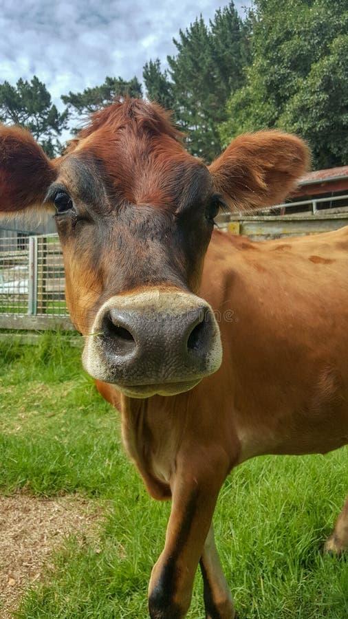 Lycklig seende ko arkivbild
