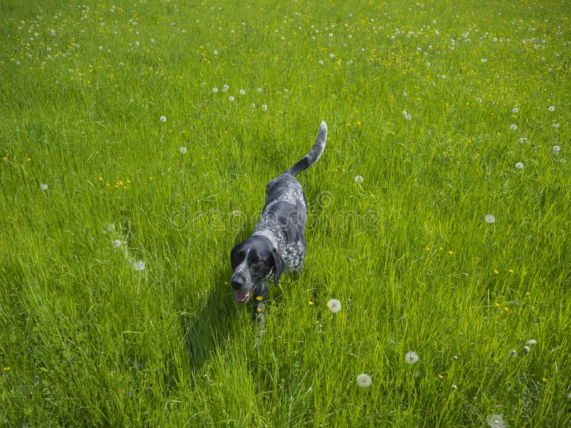 Lycklig spring för hund för svartgrå färgjakt som går i det gröna höga Get arkivfoton