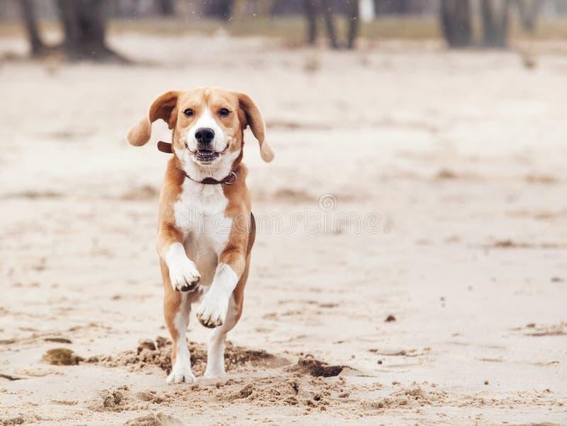 Lycklig stående för rinnande hund fotografering för bildbyråer