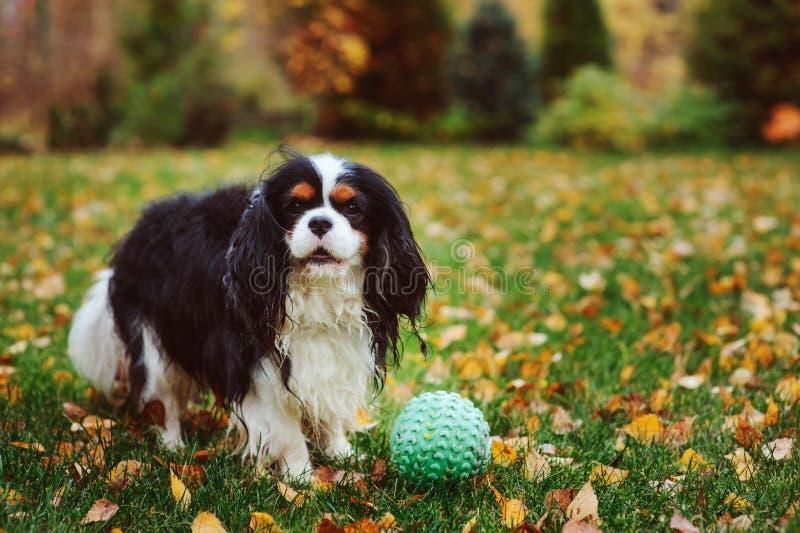 Lycklig stolt spanielhund för konung som charles spelar med leksakbollen royaltyfri foto