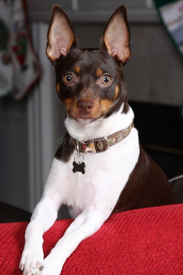 lycklig terrier arkivbild