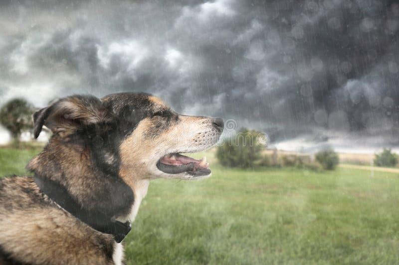 Lycklig tysk herde Dog Basking i regn under åskväder royaltyfri bild