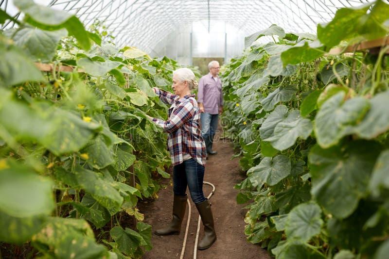 Lyckliga höga par som arbetar på lantgårdväxthuset royaltyfria foton