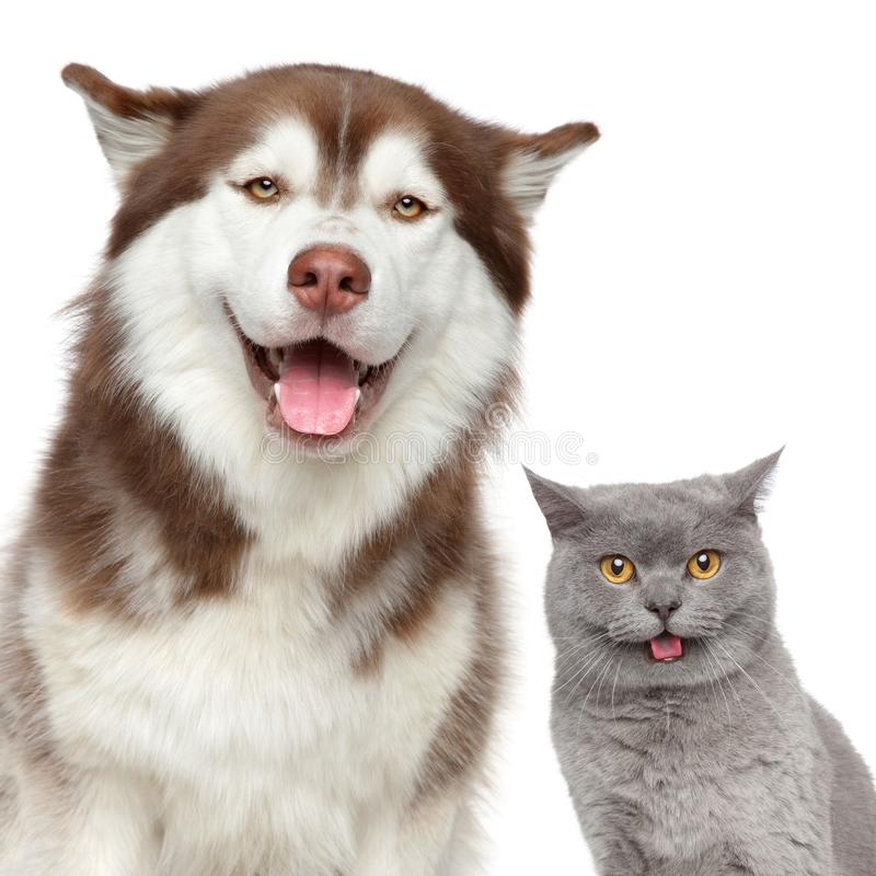 lyckliga husdjur Skrovlig hund och brittkatt arkivfoton