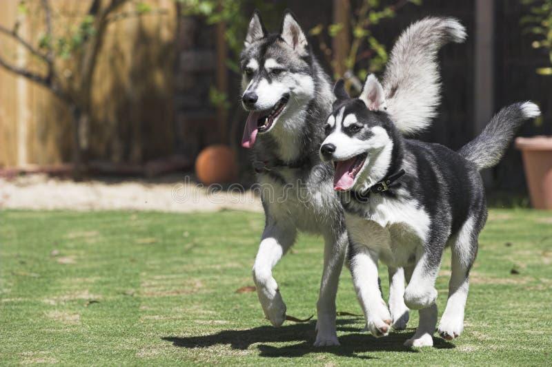 lyckliga huskies arkivbilder