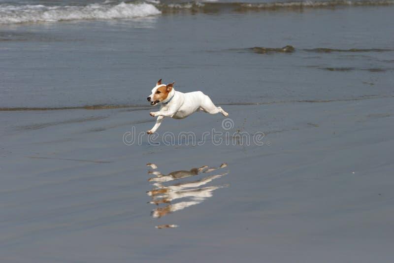 lyckliga körningar för strandhund arkivfoton