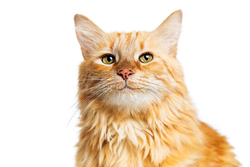 Lyckliga le orange Tabby Cat royaltyfri bild