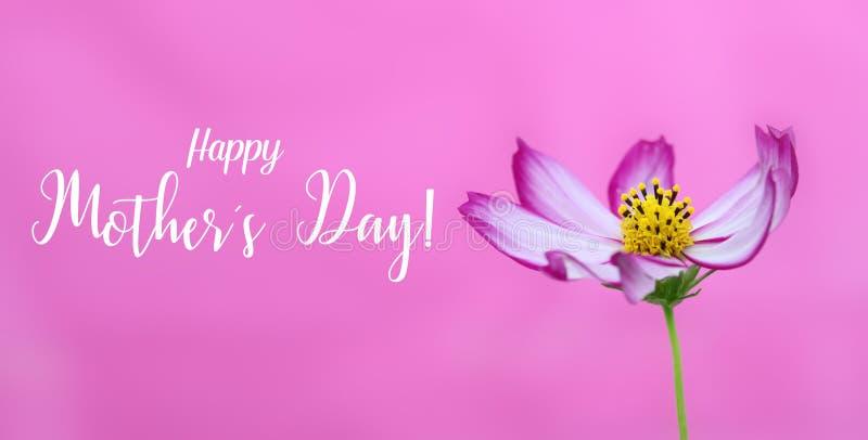 Lyckliga mödrars dag! och rosa löst foto för kosmosblommamakro som bred banerrosa färgbakgrund och meddelandetext lycklig moder f royaltyfria bilder