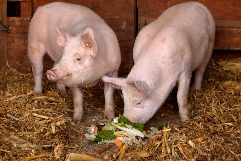 lyckliga pigs fotografering för bildbyråer