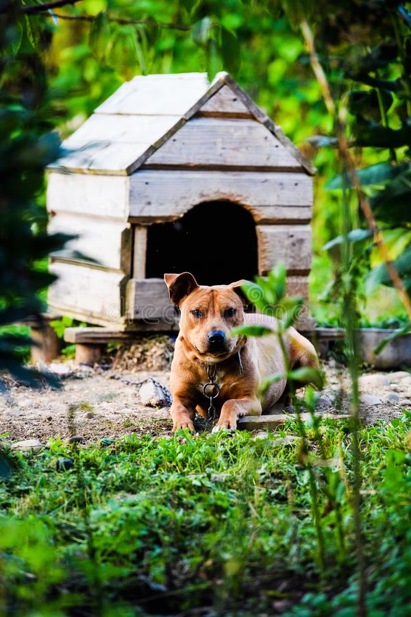 Lyckliga Pit Bull Terrier le f?r hund B?sta v?n royaltyfri fotografi