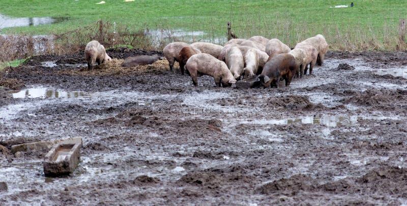 Lyckliga svin på en organisk lantgård i gyttjan, den fria springen och utan ett smalt stall, organiskt värdefullt och sunt royaltyfri fotografi