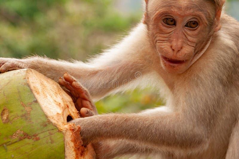 Lyckliga tider - en macaque som tycker om hans kokosnöt - färg royaltyfria foton