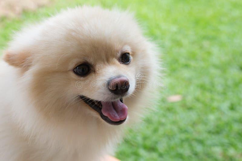 Lyckligt gulligt älsklings- leende för vit hund för valp pomeranian fotografering för bildbyråer
