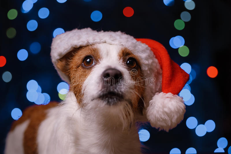 Lyckligt nytt år jul, hund i den Santa Claus hatten royaltyfri fotografi