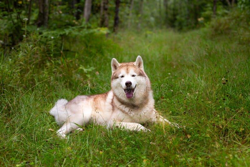 Lyckligt och härligt beige och vitt skrovligt ligga för hundavelsiberian i det gröna gräset i nedgång fotografering för bildbyråer