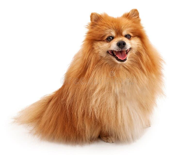 lyckligt pomeranian för hund royaltyfri bild
