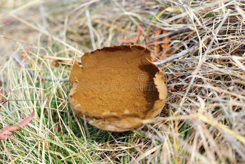Lycoperdon bovista w opóźnionej jesieni zdjęcie stock