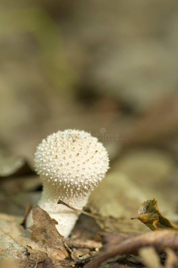 Lycoperdon perlatum stock foto's
