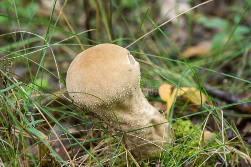 Lycoperdon perlatum purchawki pospolity grzyb obrazy stock