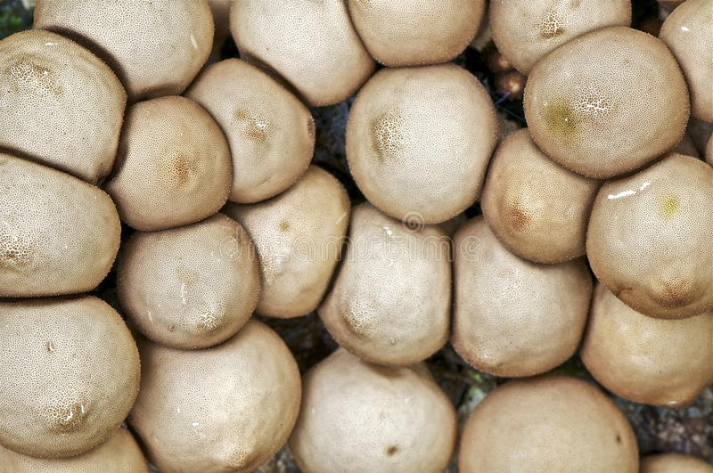 Lycoperdon Pyriforme. Found these fungis close together on an old tree trunk, also found the interesting english name of the fungus, the wolf-fart puffball royalty free stock images