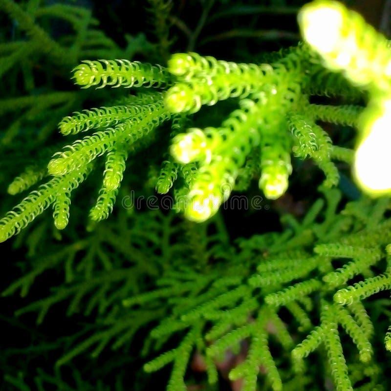 Lycopodium cernuum stock photos
