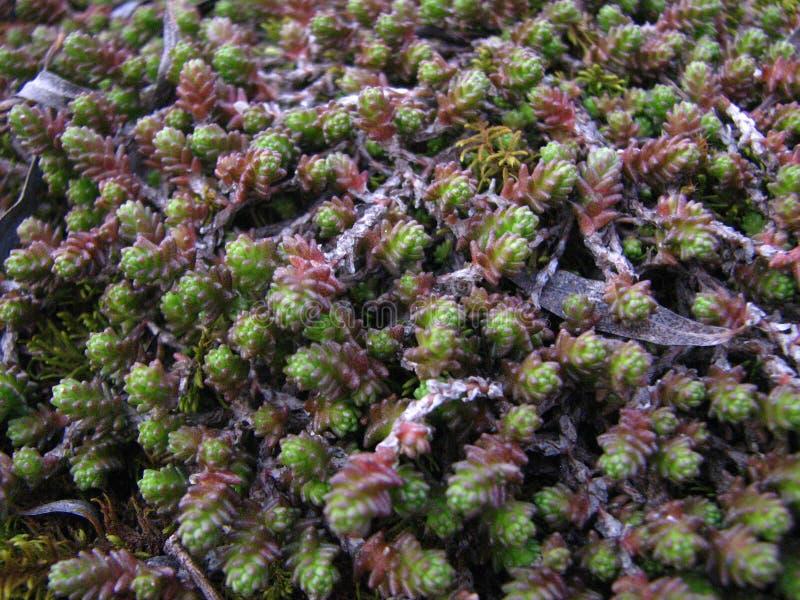 Lycopodium, de vegetatie van het clubmos en droge wilgenbladeren stock foto