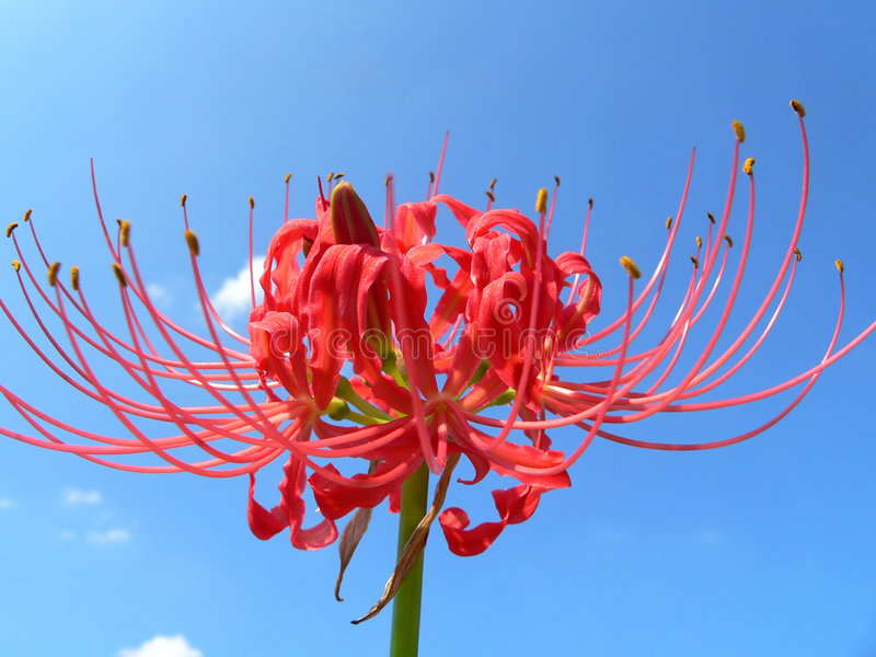 Lycoris Radiata stock images
