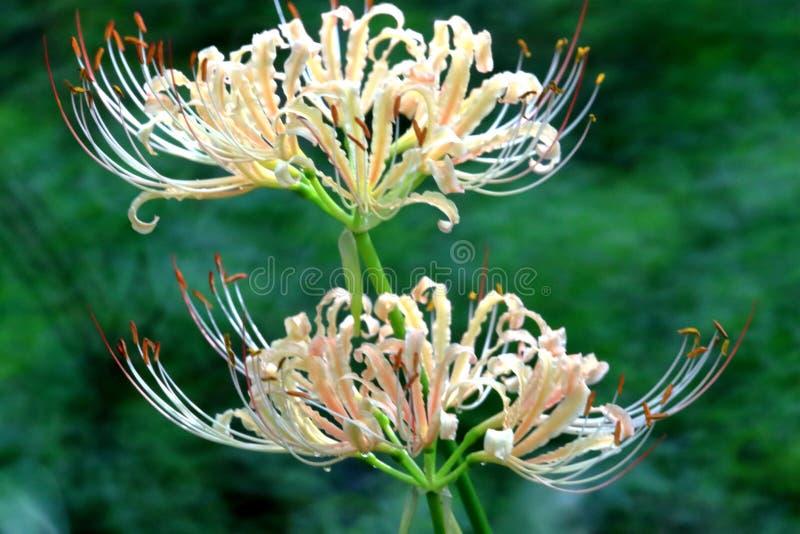 Lycoris radiata kwitnie w pełnym kwiacie obraz royalty free