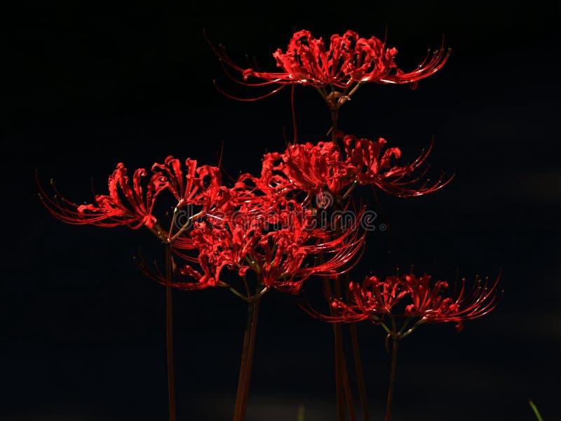 Lycoris radiata kwitnie w pełnym kwiacie zdjęcia royalty free