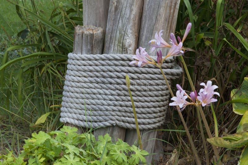 Lycoris rose Squamigera, surprise parfumée rose Lily With Log Pi images libres de droits