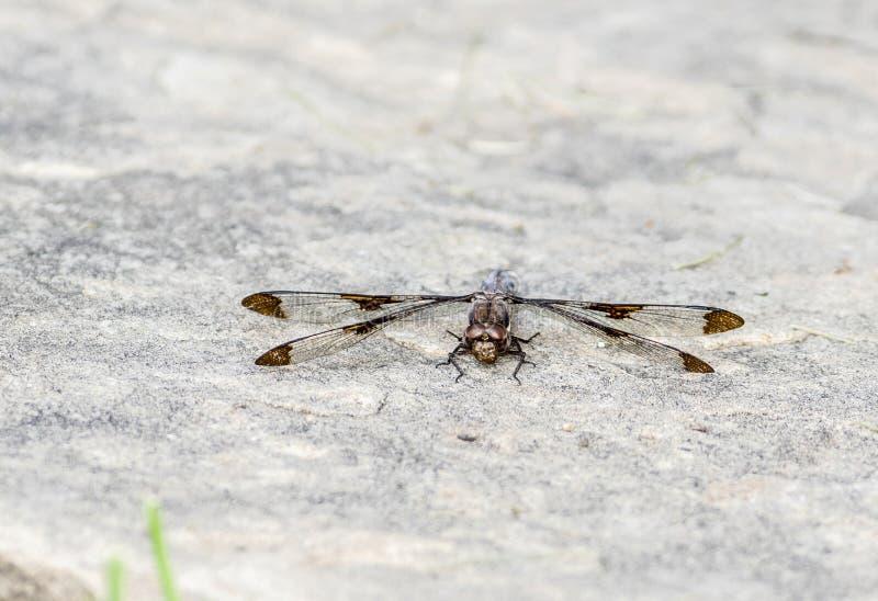 Lydia commun de Plathemis de libellule de Whitetail se reposant sur le Groundd photographie stock